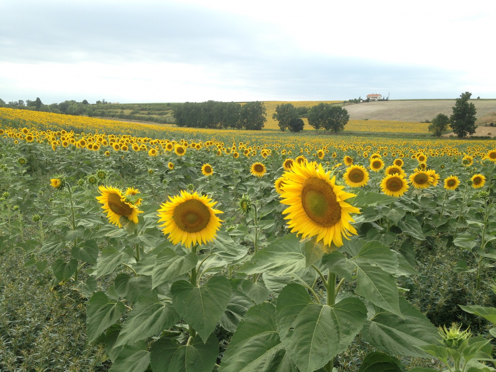 zonnebloemen aan de Gironde bed & breakfast le petit chenac