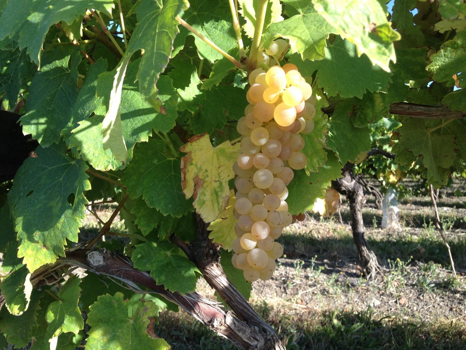 Overal wijnranken in de Charente Maritime